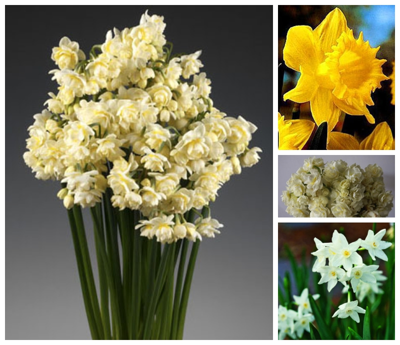 double narcissus and yellow daffodils