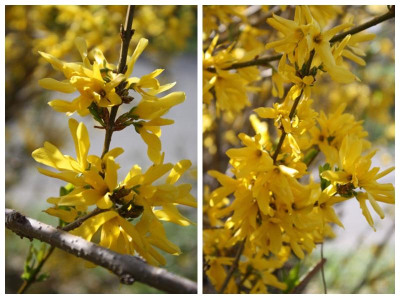 Flower yellow branch forsythia