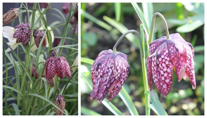 Fritillaria Meleagris Checkered Lily