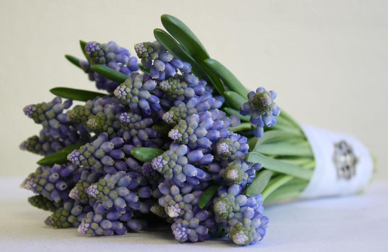 Blue Muscari Grape Hyacinth