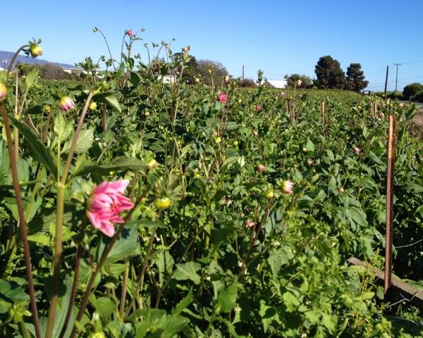 Field of Dahlias