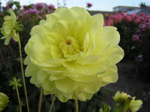Glorie van Heemstede Dahlia - yellow dahlias