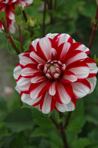 Jamaica Dahlia - red and white dahlia