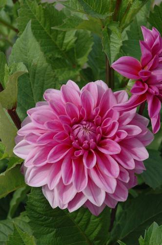 Lucky Number Dahlia - pink dahlia