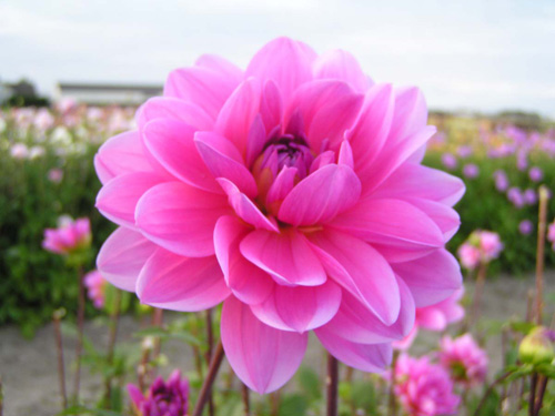 Onesta Dahlia - pink dahlia