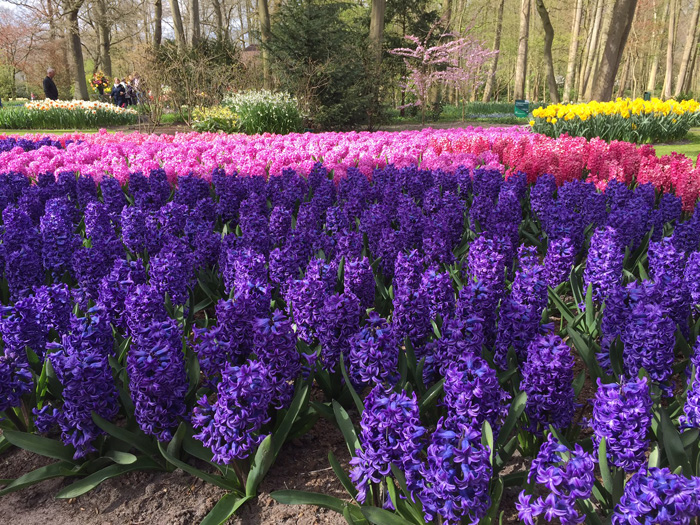 Keukenhof Hyacinths