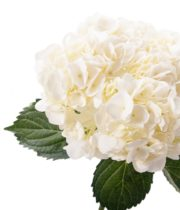 Hydrangea, PG-blush