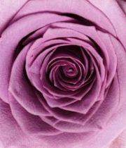Rose, Avant Garde-SA