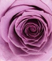 Lavender Avant Gard 50cm Roses, SA