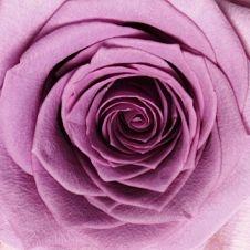 -rose-avant-garde-lavender_opt