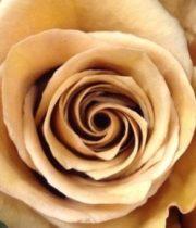 Rose, Combo-SA