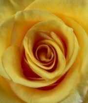 Rose, Conga-SA