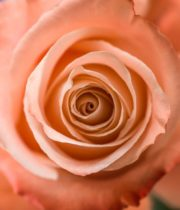 Rose, Fado-SA