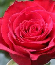 Red Prestige Roses, CA