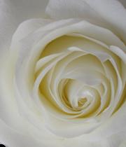 Rose, Proud-SA