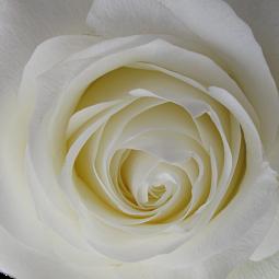wholesale flowers   rose proud