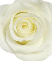 Rose, Akito-SA