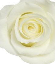 White Akito 50cm Roses, SA