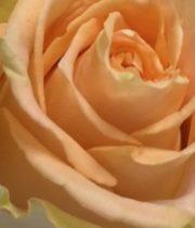 Peach Shukrani 50cm Roses, SA