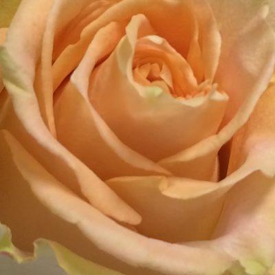 wholesale flowers | rose shukrani