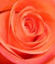 Rose, High&Blooming-SA