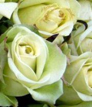 Jade 50cm Roses, SA