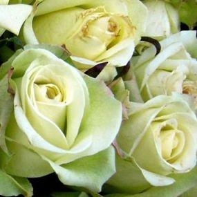 wholesale flowers | rose jade