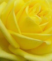 Rose, Latina-SA