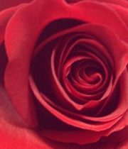 Sexy Red 50cm Roses, SA