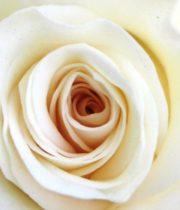 Rose, High&Pure-SA