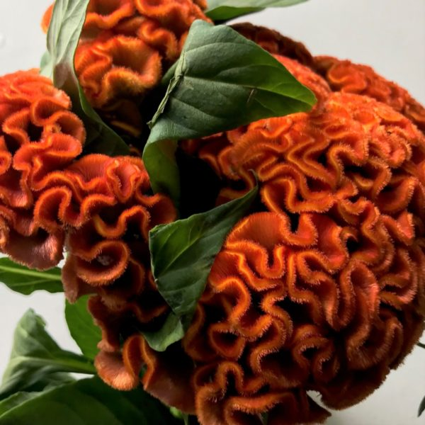 Wholesale Flowers | celosia-orange