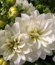 Dahlias, Field-white