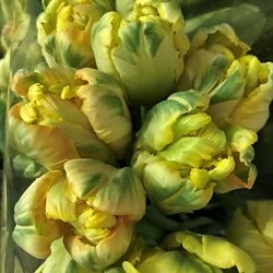 wholesale flowers   tulips Parrot yellow