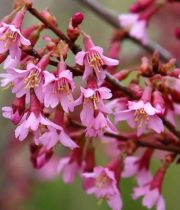 Branch, Flowering Prunus-hot Pink