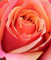 Rose, CA-Cherry Brandy-hot Pink