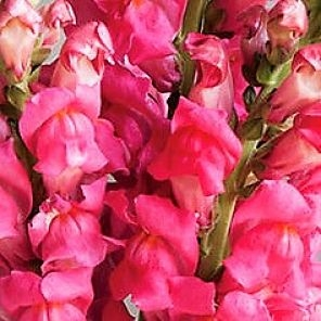 wholesale flowers | snapdragons hot pink