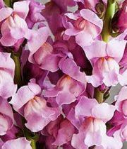 Snapdragons-lavender
