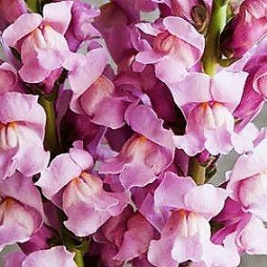 wholesale flowers | snapdragons lavender