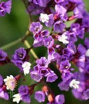 Statice, Sinuata-lavender