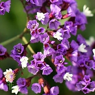 wholesale flowers | statice lavender