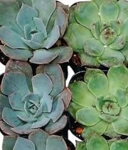 Succulents, Small 2 – 2.5″