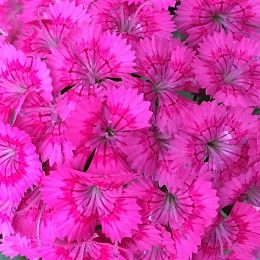 wholesale flowers | Sweet William hot pink