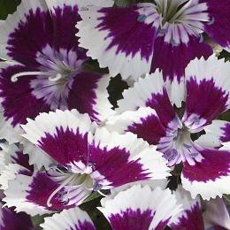 wholesale flowers | Sweet William purple white