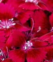 Sweet William-red
