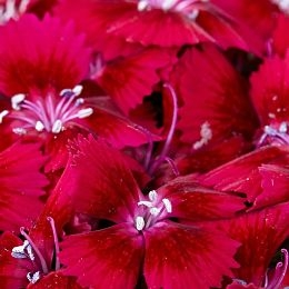 wholesale flowers | Sweet William red