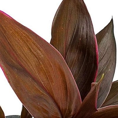 ti-leaf-brown