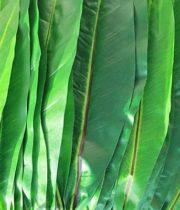 Ti Leaf-green