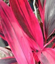 Ti Leaf-red