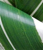 Ti Leaf-variegated