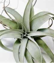 Tillandsia Airplant, Extra Large